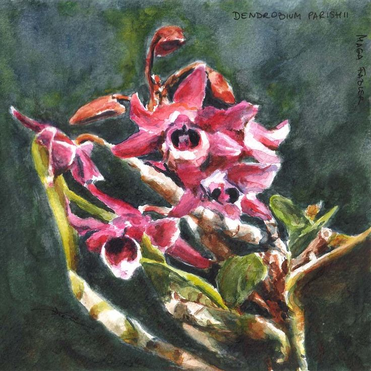 Dendrobium parishii, orchid by Maga Fabler; watercolor