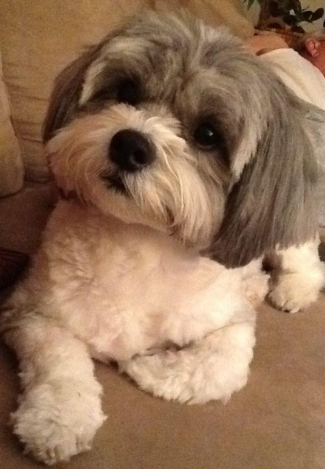 Model Puppy Haircut Cutest Haircut Shih Tzu Haircut Shipoo Puppies Shihpoo