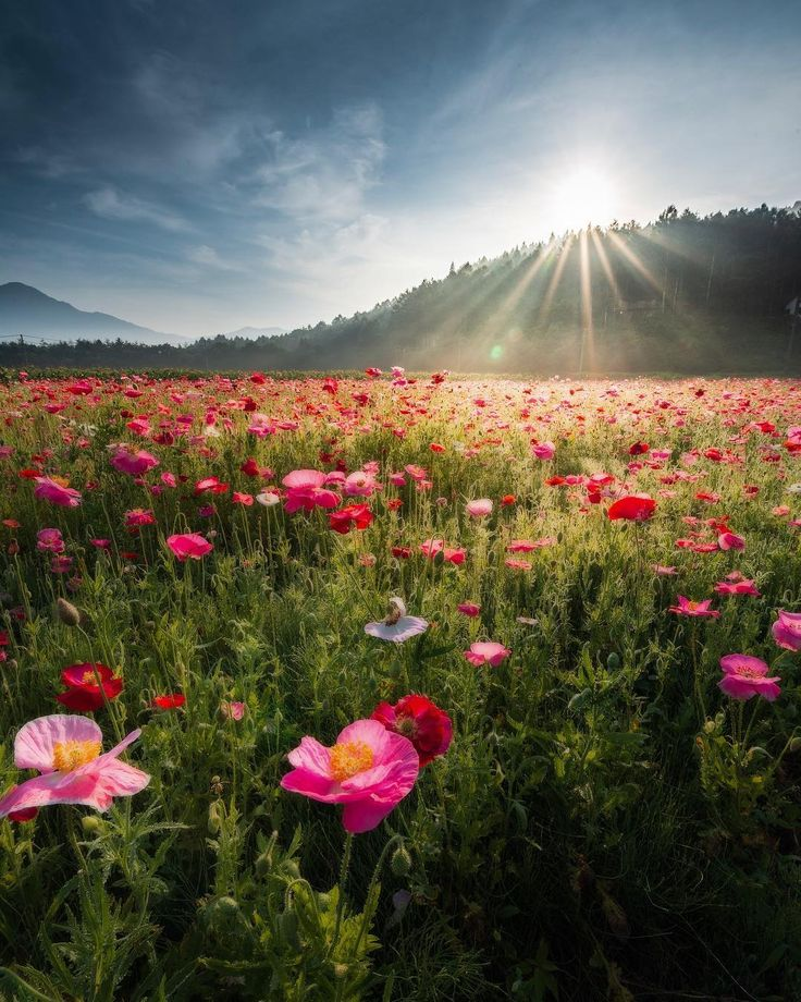 In The Land Of Ingary Par Vivian Phu Paysage Coquelicots Fleurs