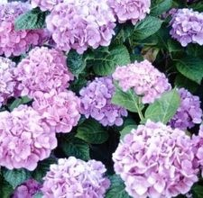 How to start hydrangea from a cutting