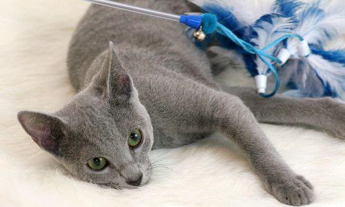 Miot R - Hodowla kotów rosyjskich niebieckich |Grota kota #cat #russian blue