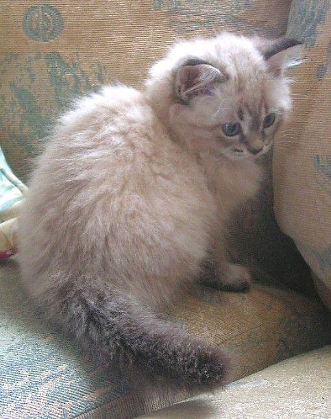 Pictures of Siberian Kittens | Florentija - CATREBA SIBERIAN CATS
