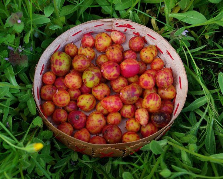 Ulluco Andean tuber Organic Agriculture and Seeds