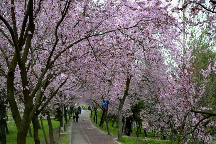 My favorite spot to admire the gorgeous colors of spring is the cherry tree lined alley behind the Orthodox Cathedral in Timișoara. Every year it is covered in pink flowers, making it the most surreal place you could imagine.