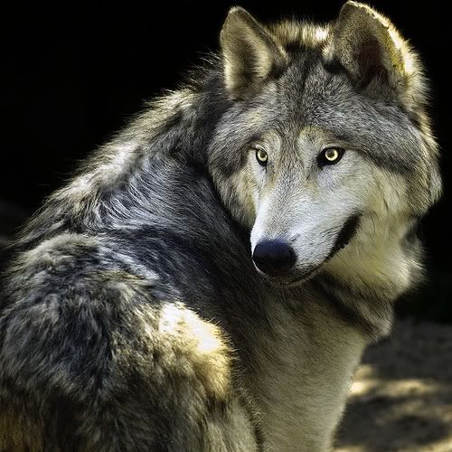 Wolf....save our endangered wolves