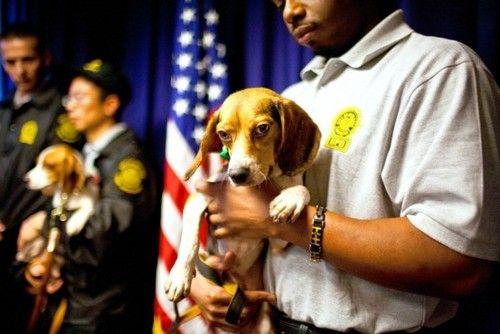 Bedbug-sniffing beagles!