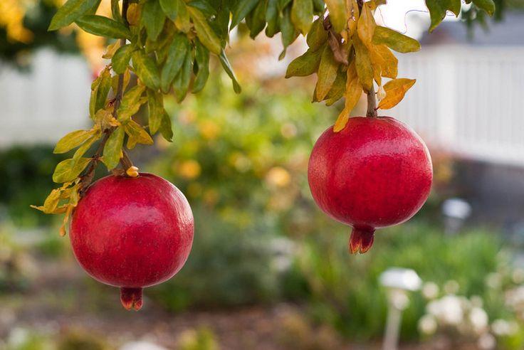 traditional landscape Pomegranate Tree | Garden | Pinterest