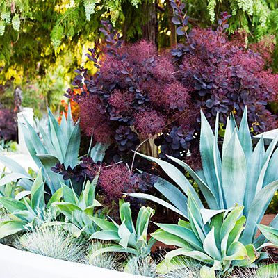 A cotiunus (Smoke Tree) offers purple plumes of fluffy flowers, while two types of agave sit in front, bordered by the same color blue fescue.