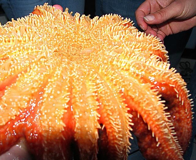 Sunflower Starfish |