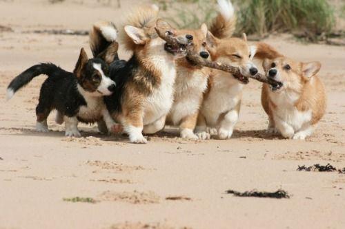 i want a welsh corgi~: Corgis, Welsh Corgi, Teamwork, Friends, Corgi Puppies, Sticks, Little Dogs, Animal, Team Work