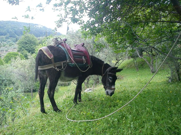 The Donkey. We met him on our way to Vourliotes village trimming the grass between fruit trees. Samos Greece, Armonia bay hotel.