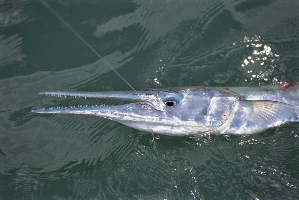 Needlefish gulf of mexico florida gone fishing for Florida gulf fish