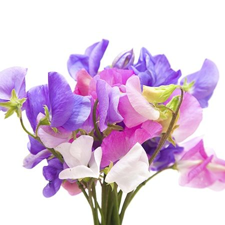 Sweet Pea Flower Meaning