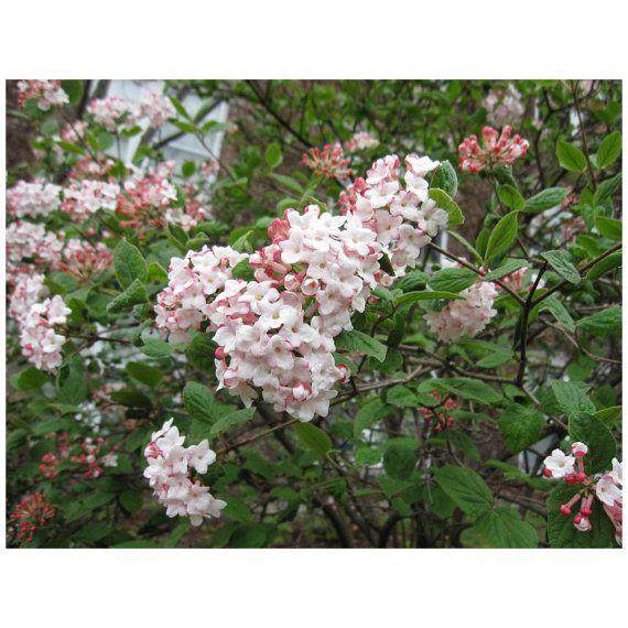 "Judii Viburnum, Snowball, 3 Plants, 11""-15"" Tall, 2.5"" Potted Plant, Landscaping, Healthy Plants, Shrub, Blossoms, Fragrant, White Flowers"