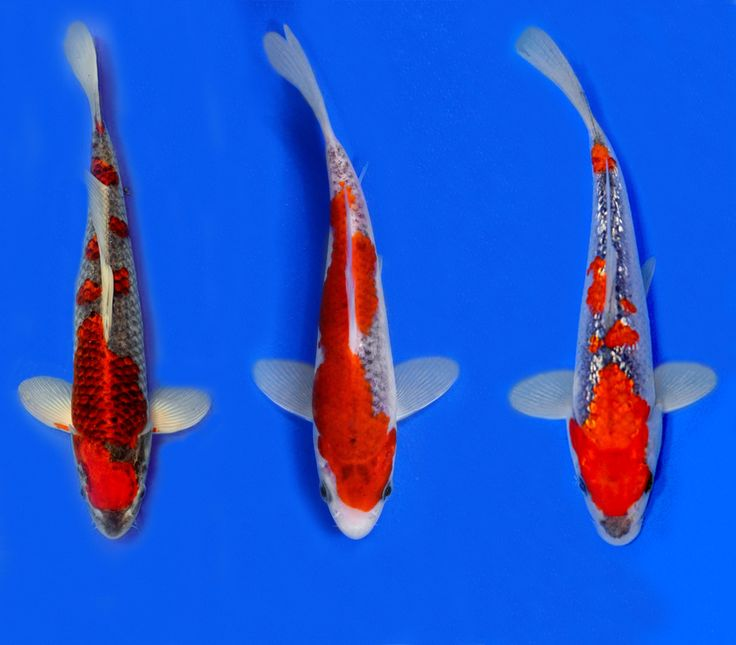 176 best koi fish images on pinterest for Koi fish hatchery