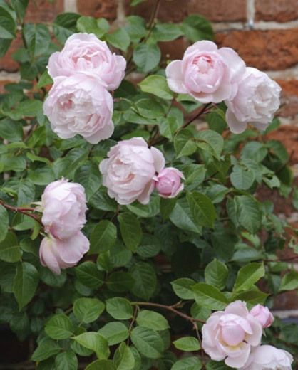 Rosa 'The Generous Gardener,' thornless climber - 5' tall x 4' wide - highly fragrant - repeat bloomer late spring 'til frost - very fragrant roses
