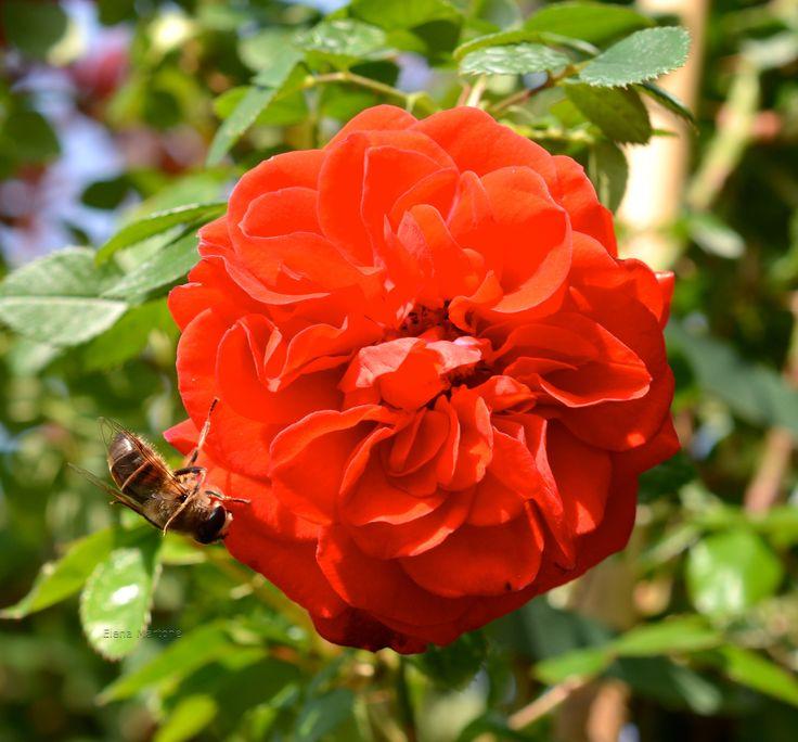 """La rosa con """"l'ospite!"""