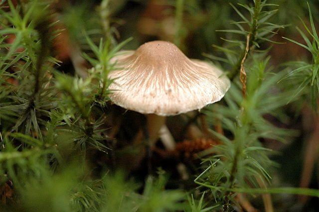 39 Sterspoorvezelkop, Inocybe_asterospora.jpg  https://www.leren.cf/Lezen/nl/Lijst_van_giftige_paddenstoelen