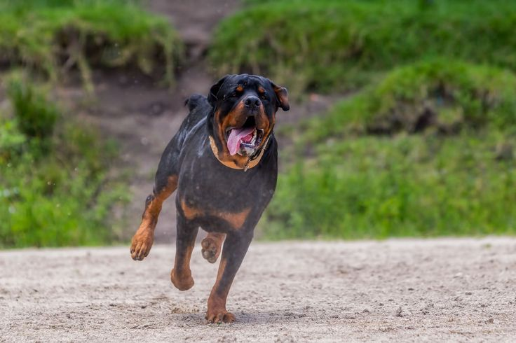 A blog about Rottweiler, the most amazing dog breed the world have known. Rottweiler temperament, rottweiler names, rottweiler health tips etc..