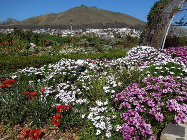 Spring has sprung in the Biodiversity Garden at Green Point Park. Parts of the garden are awash with colour, such as the 'Hybrids and cultivars' display ...