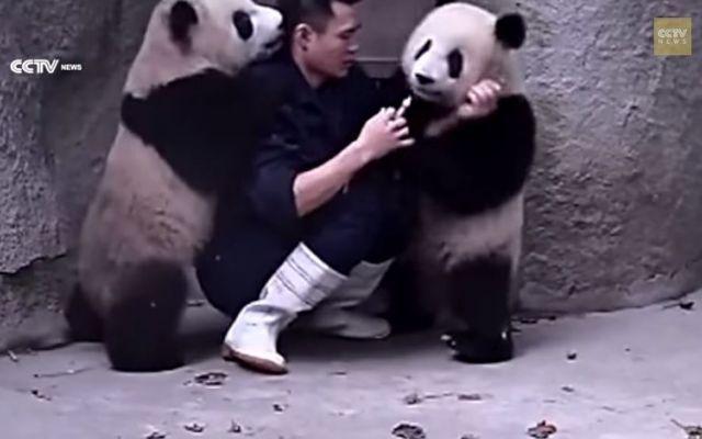 La buffa lotta di due adorabili panda #zoo #panda #video #medicina