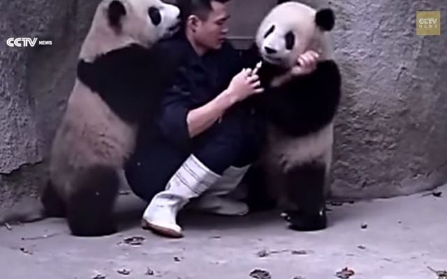 La buffa lotta di due adorabili panda #zoo #panda #video #medicina