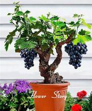 Semillas de uva Jardín de Frutas de Verano Súper Fragante Dulce Uvas Bonsai Bonsai de Interior Al Aire Libre Escalada Envío Gratis(China (Mainland))