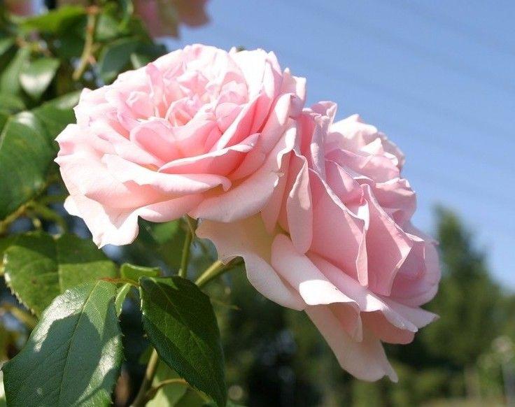 klimroos 'Nina von Stauffenberg' - Scarman (2008). Trosjes  dik gevulde pastelroze bloemen (8-10cm) met crèmekleurig hart, die goed regenbestendig zijn.  Intense geur. Zeer gezond. 4m x 1m.