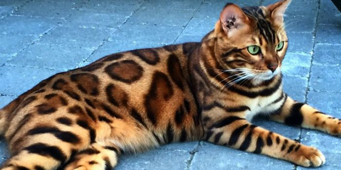 De Belgische kat Thor heeft de vacht van een stoere jachtluipaard, maar het gedrag van een knuffelbare huiskat. Dankzij deze combo verwierf de viervoeter al meer dan 17.500 volgers op Instagram.    De Bengaalse kat heeft zijn …