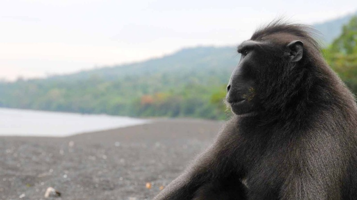 Sulawesi, Indonesia, Black Macaque | Atlasa.cc #travel #photography