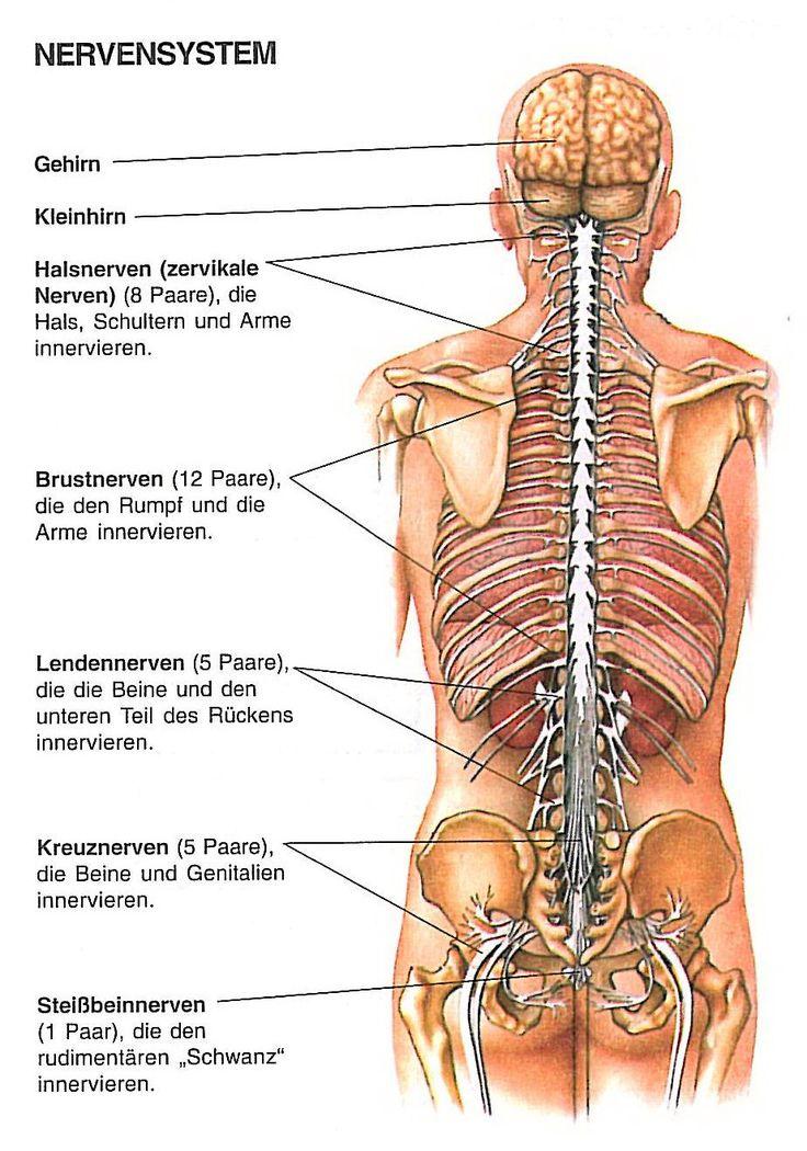Ausgezeichnet Anatomie Der Organe Des Körpers Von Hinten ...