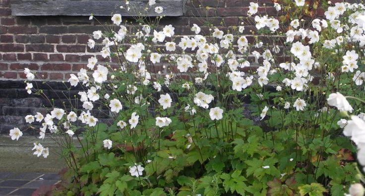 Anemone hybride 'honorine jobert' Anemone hybride 'honorine jobert' Herfstanemoon: krachtig groeiende vaste plant. in de late zomer komvormige, witte bloemen met afstekende, gele meeldraden aan taaie stengels boven diep gedeeld, donkergroen blad. hoogte tot 1.5 meter, plantafstand 60cm, volle zon, halfschaduw.