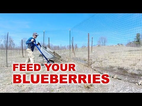 How to fertilize and mulch your blueberry plants. I walk you through my springtime routine of fertilizing and mulching my 75 blueberry bushes. Varieties we g...