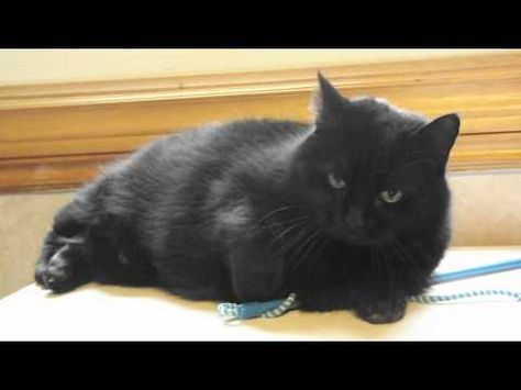 Big Beautiful  Black Bombay Cat Chattering - YouTube