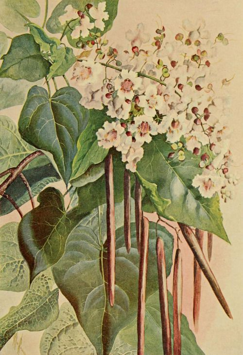 Catalpa. Illustration by Ellis Rowan taken from 'A Guide to the Trees' (1900) by Alice Lounsberry.
