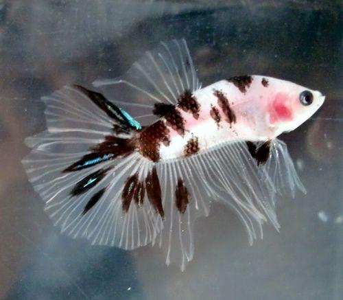 17 best images about baddest bettas around on pinterest for Betta fish mating