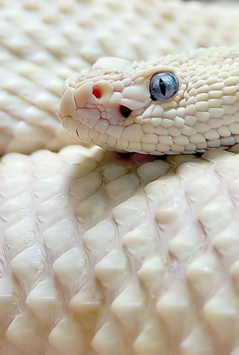 """Exhibit A. Blue-eyed Leucistic, scaled, white diamondback rattlesnake. People who breed and adopt these snakes as pets tend to call them """"Blue-Eyed Lucy"""". Cute name."""