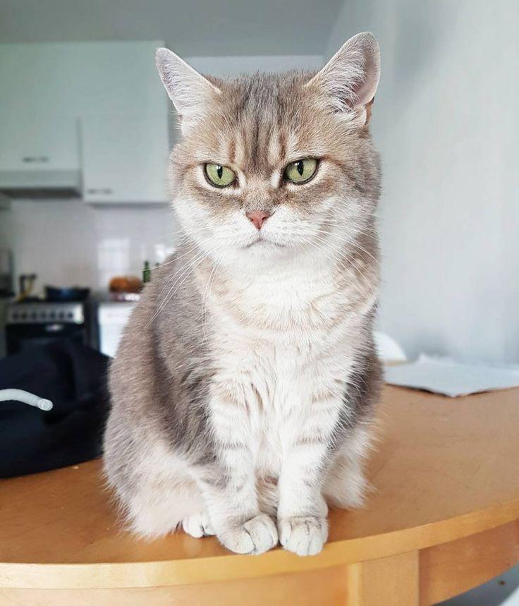 A britsh shorthair cat on the table. So cute!