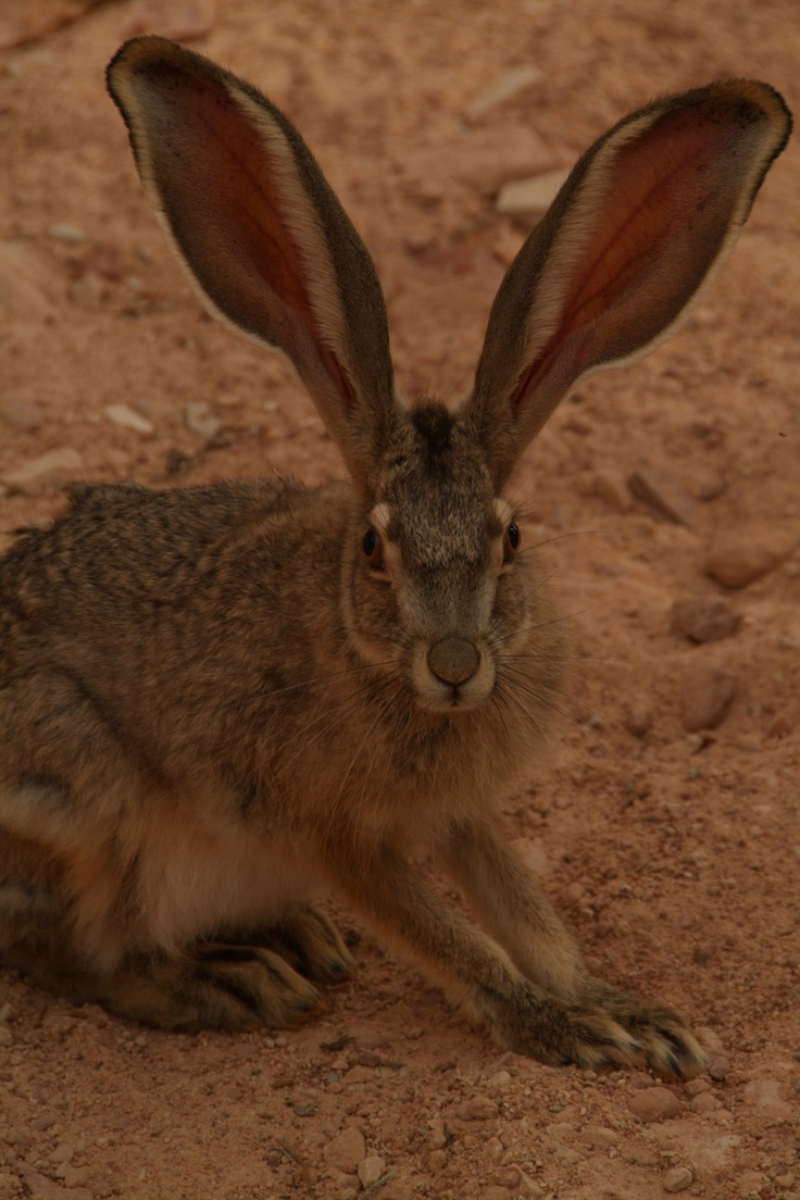My, what big ears you have...
