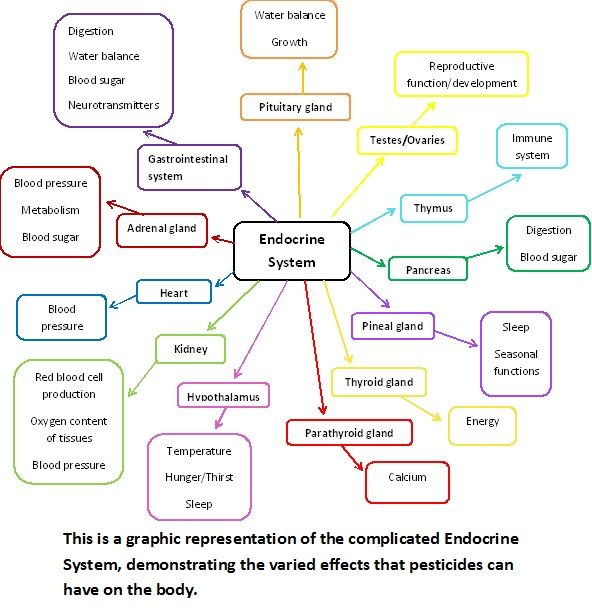 11 best images about Endocrine System Project on Pinterest