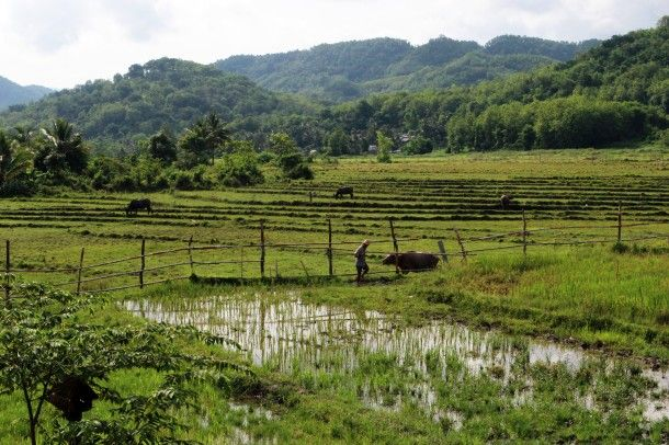 Rice fields in Asia, at the Living Land Farm in Luang Prabang, Laos