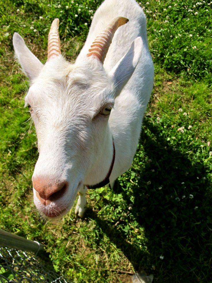 A Goat S Journey Over Life S: Raising Goats: How To Choose A Breed