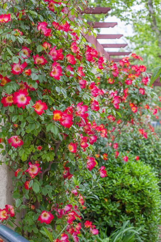 Les 25 meilleures id es de la cat gorie rosier grimpant remontant sur pinterest pierre verte - Comment tailler un rosier grimpant ...