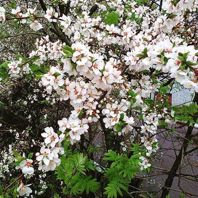 【elena._.romanova】さんのInstagramをピンしています。 《Цветение дикой вишни💮💮💮 #цветы#вишня#вишняцветет#природа#цветение#flowers#flowerstagram#instaflowers#nature#naturelovers#instanature#cherry#cherryblossoms#bloom#petal#spring#amazing#botanical#floral#instablooms#insta_pick_blossom#protvino#ig_myshot#colors_of_day#flowermagic#flowerslovers》