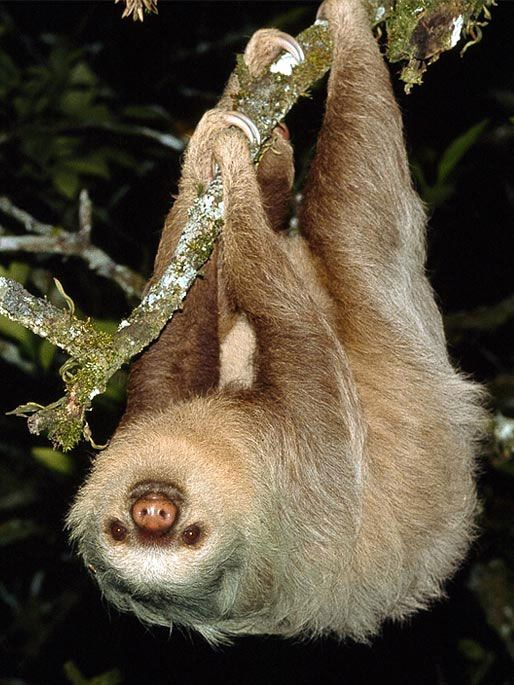 Sloth Or Sloths Are Medium Sized Mammals Belonging To The