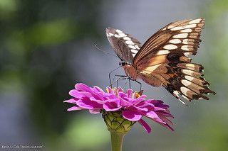 Zínia - uma das preferidas das borboletas Foto de Kevin Cole