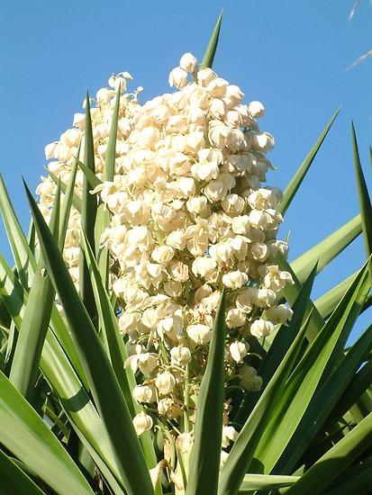 White cactus flower | Moon gardens, white gardens, white ...