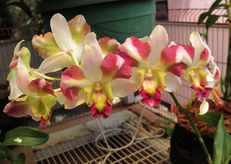 Dendrobium king dragon pride   Cantiknya Dendrobium Nopporn. Walaupun tergolong susah merawatnya ...