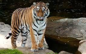 「虎」の画像検索結果