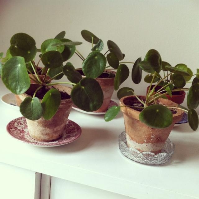 pilea peperomioides, pannenkoekplant. Zou ik graag weer 's hebben! (Foto van mette-erleperle.blogspot.nl)